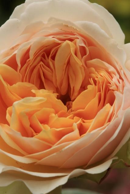 Rose (427x640)